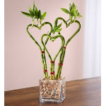 Flower Delivery by 1-800 Flowers Sweet Heart Bamboo Triple Plant, Large
