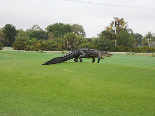 Fore! Giant Alligator Goes for Stroll on Florida Golf Course