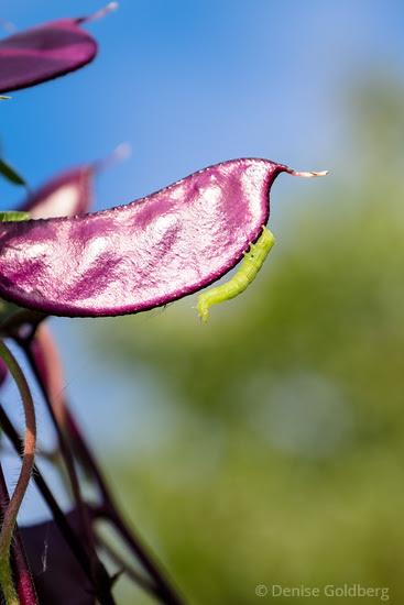 inching along a purple hyacinth bean