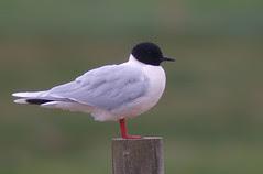 Little Gull 070425 Larus minutus