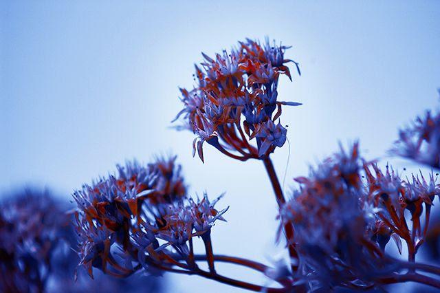 Bicolor Flower Fantasy [enlarge]