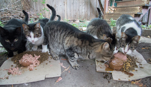 Cat Colony Caretakers are in Your Alleys Before You Awake