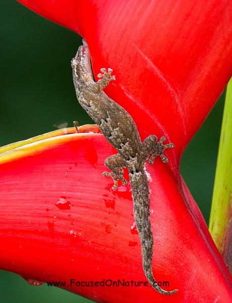 Indopacific Gecko