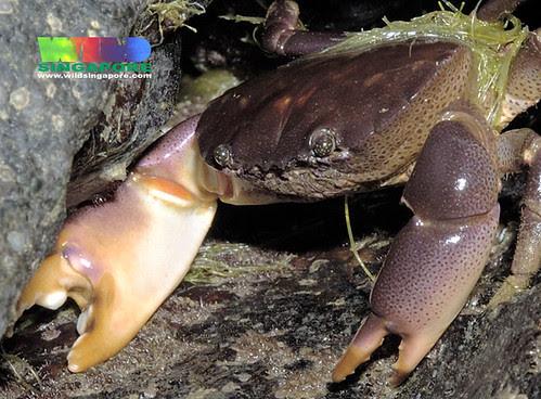 Crab (Ozius guttatus?)