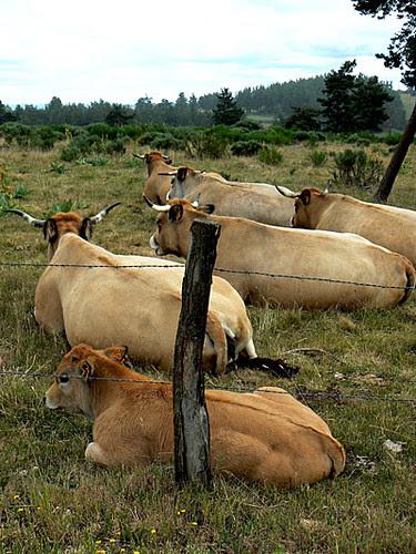 le repos des vaches.jpg