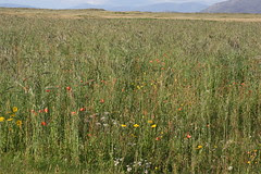 Crops on the machair