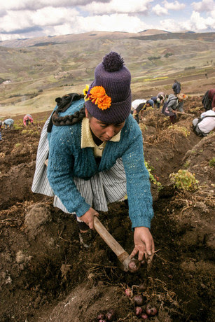 A farmer picks potatoes on community land in the high Andean region of Huancavelica, the area of Peru with the most native varieties of potatoes. Credit: Mariela Jara / IPS