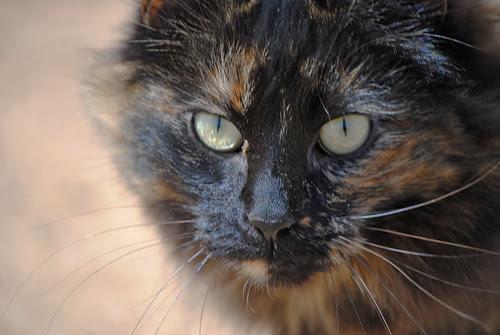 calico barn cat