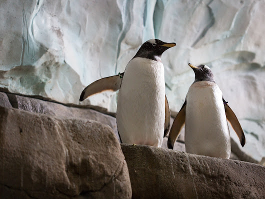Two gay penguins have been moved to a new zoo so they can be together