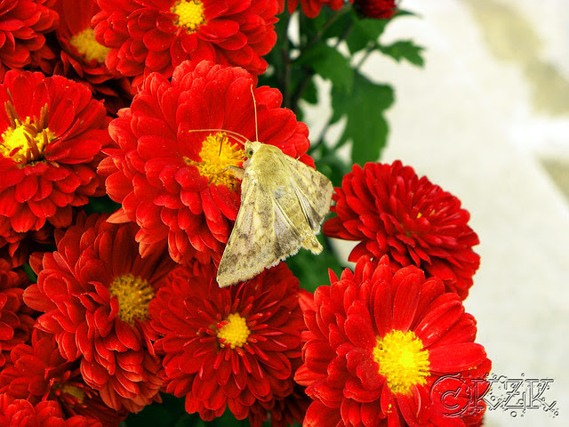 DSCN2426 Moth on Mums