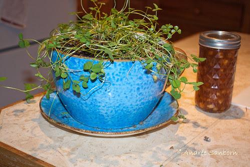 Mini-Shamrock in New Pot-1.jpg