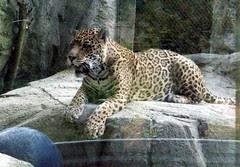 Jaguar_61811