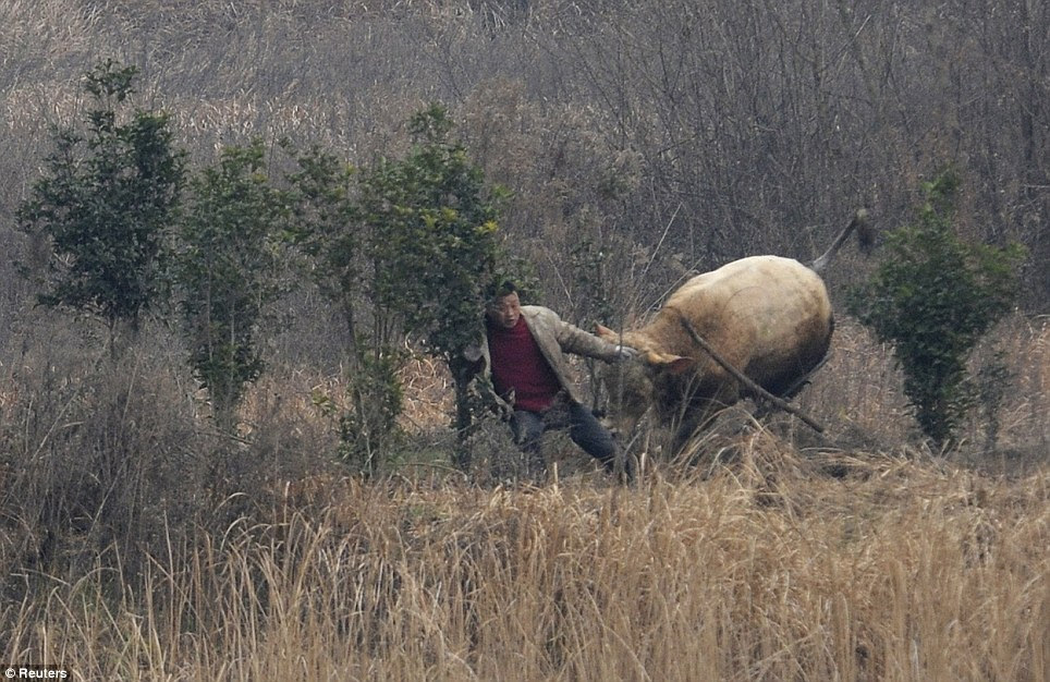 Charge: The cow attacked the farmer in Liangdun village of Nangang township, Anhui province, in China