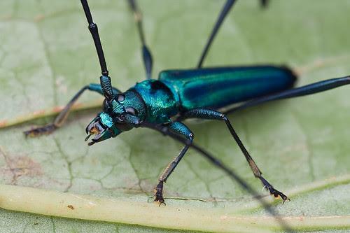 blue longhorn beetle from Danum Valley IMG_9181 copy