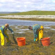Fighting Bowling Green Dry Patch & Compaction: The Seaweed Cure