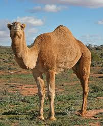 gambar binatag onta, foto hewan gurun, tanah tandus, keajaibah Alam, hewan yang kuat luar biasa menakjubkan