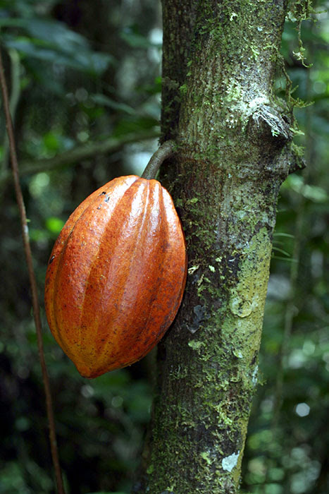 Chocolate's Natural Roots: The Cacao Tree