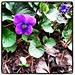 My back yard violets.