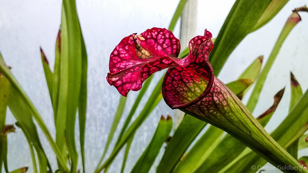 pitcher plant in deep pink