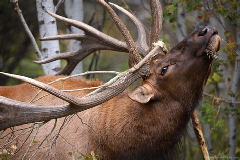 Close up of Bull Elk Destroying Tree