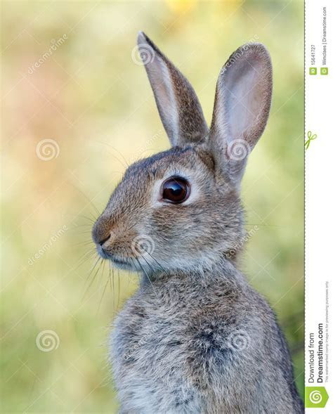 Wild Rabbit Royalty Free Stock Photography   Image: 15641727
