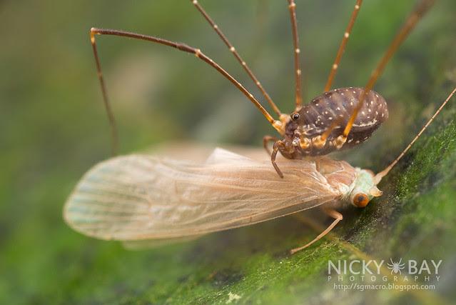 Harvestman (Opiliones) - DSC_1541
