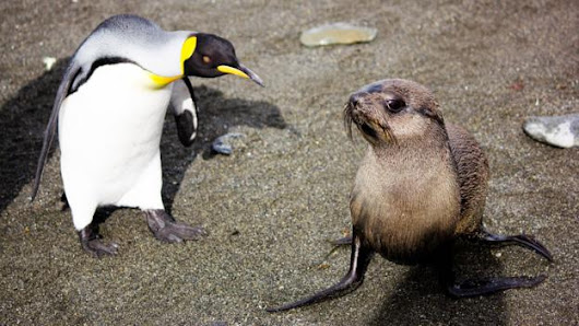 Seals discovered having sex with penguins