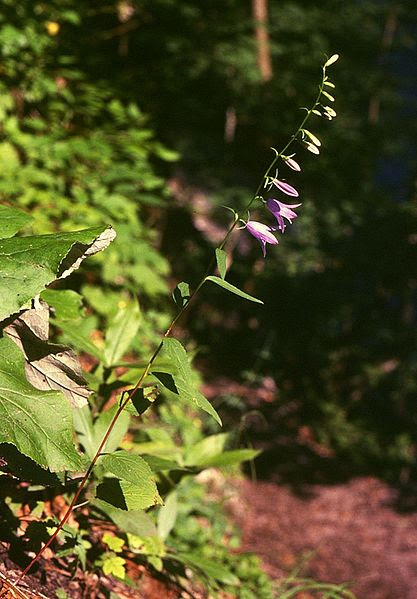 File:Campanula rapunculoides.jpg