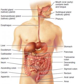 300px Digestivesystem