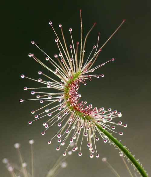 ronbeckdesigns:  Dosera scorpioides commonly called the shaggy sundew, a carnivorous plant by ramamayoor on Flickr  IS THIS A PLANT  OR A WORK OF ART? IT IS BOTH AND MUCH MORE.