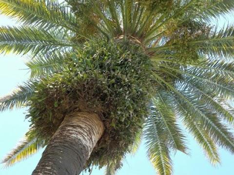 دراسات في شجرة النخيل