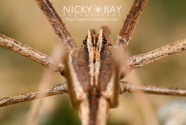 Net-Casting Spider (Deinopidae) - DSC_6156