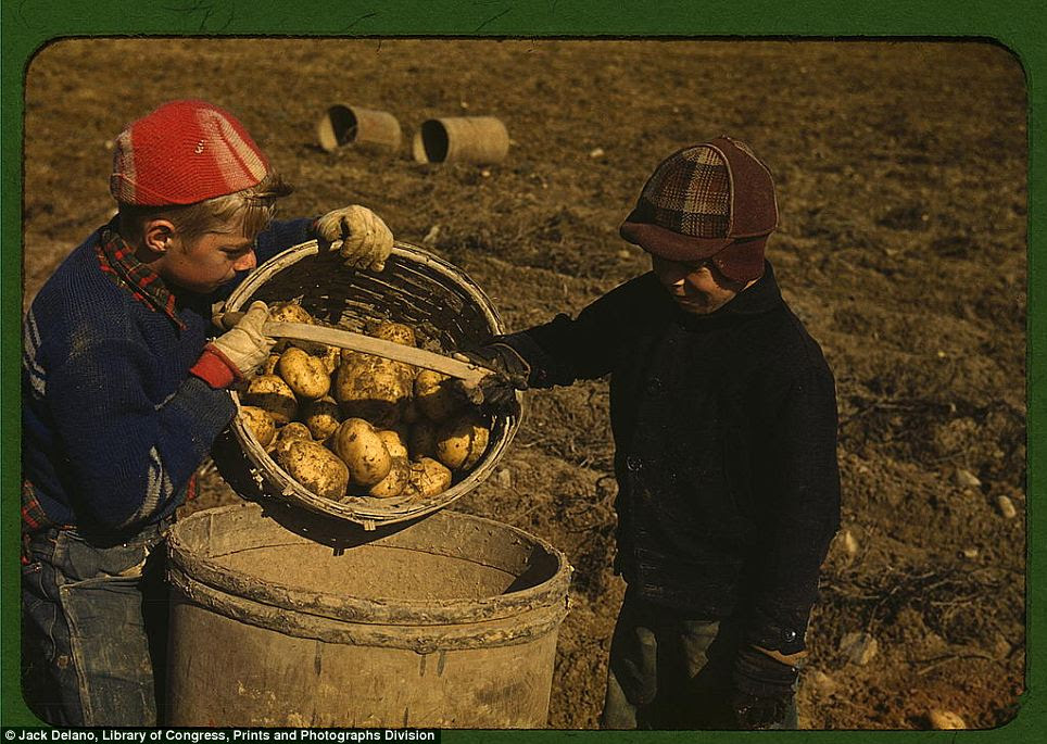 Greatest generation: Children gathering potatoes on a large farm, in the vicinity of Caribou, Aroostook County, Maine in October 1940. Schools did not open until the potatoes are harvested