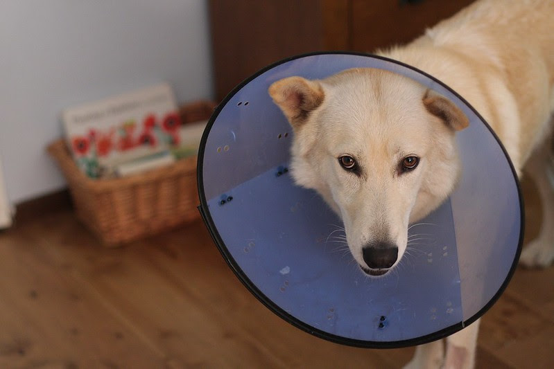 Put him in the cone of shame