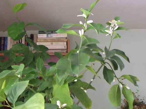 Fleurs en janvier-citronnier by martamaghiar