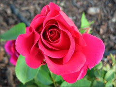 A rose called...