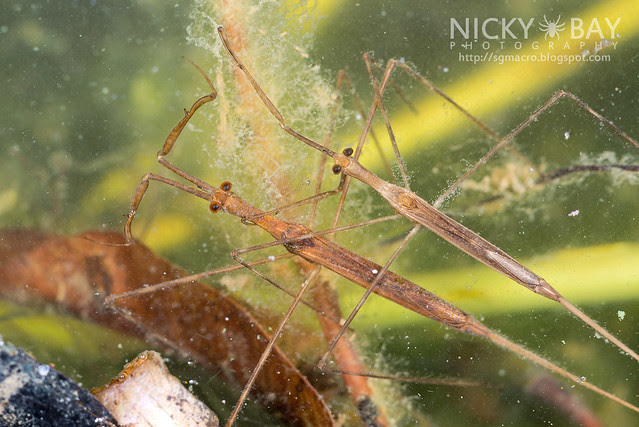 Water Stick Insect (Ranatra sp.) - DSC_8911