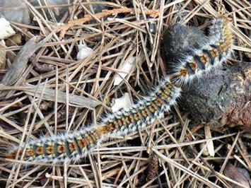 """Résultat de recherche d'images pour """"Processionary caterpillars"""""""