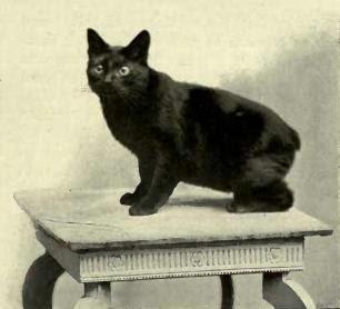 "Black Manx cat. ""GOLFSTICKS."" OWNED ..."