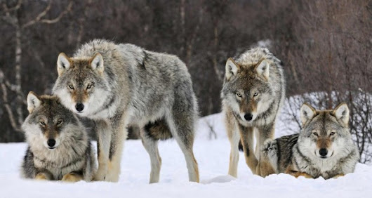 Wolves to be introduced into the Wicklow mountains