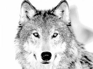 Wolf Expressões Idiomáticas Com Wolf E Wolves