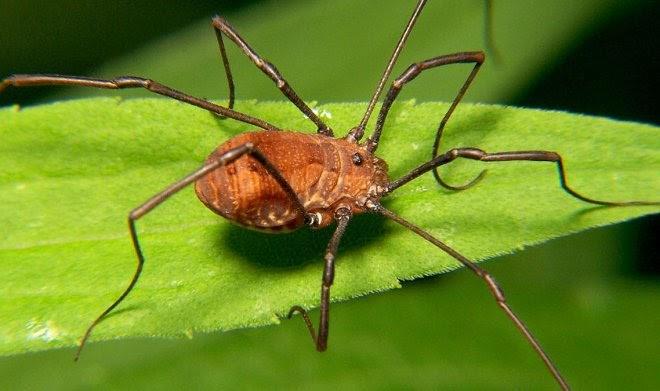 Ученые из любопытства превратили длинноногих пауков-сенокосцев в коротконогих