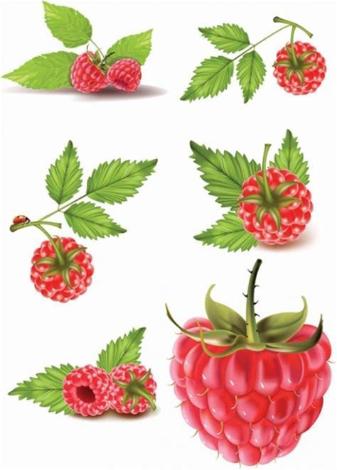 Raspberry vector free vector download (43 Free vector) for