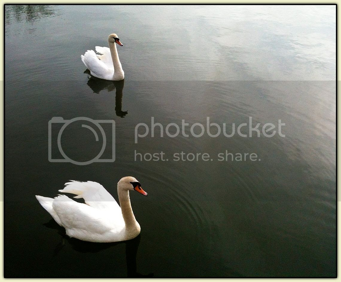 Admiralty Swans