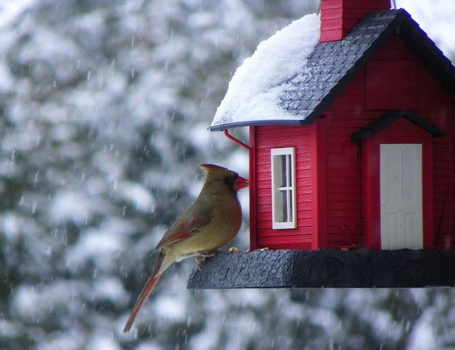ODC Quoted / Female North American Cardinal