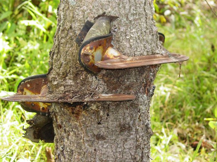 My Grandpa Hung                                                    His Skates On A                                                    Small Tree When He                                                    Was Younger. He                                                    Forgot He Had Left                                                    Them There And Found                                                    Them Years Later