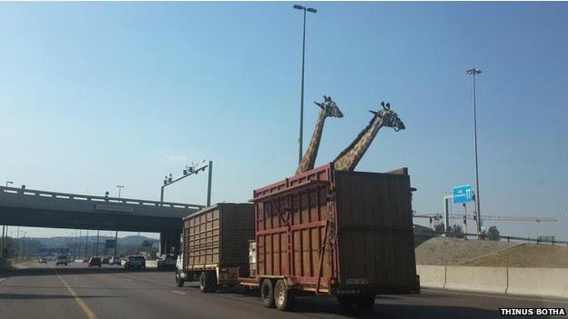 Usuário do Twitter fotografou girafas pouco antes do acidente em Joannesburgo (Foto: Thinus Botha/BBC)