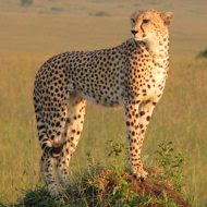 Escorted touring holidays to Kenya and Tanzania - Cheetah on the Masai Mara, Kenya
