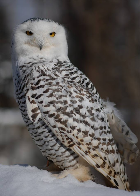 """Artic Snow Owl"" by jameswillney has received special recognition."