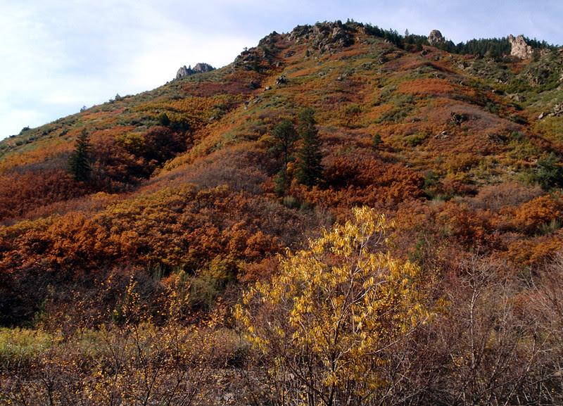 The rustic rusts of Gambel oak, Waterton Canyon, Colorado